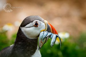 Puffin Carrying Dinner