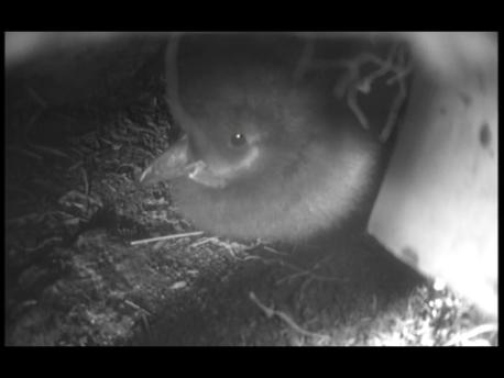 Baby Puffling