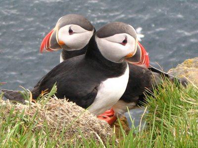 Puffin Pairs Breed for Life